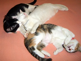 foto: As gatinhas Joy, Jully e Jujuba
